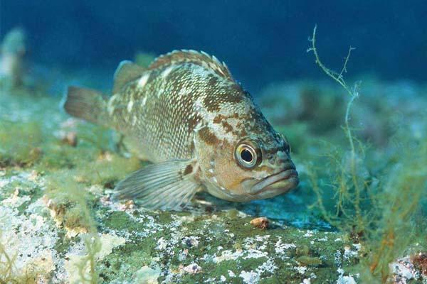 石斑鱼_鲙鱼