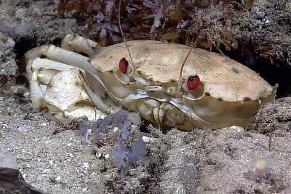 """美国黄金蟹-蟹类中的""""奶油小生"""""""